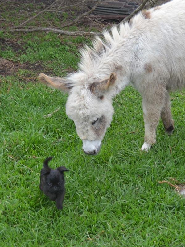 Miniature Donkeys - Koroit Pet Resort