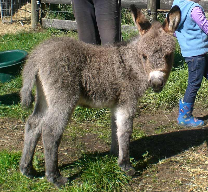 Miniature Donkeys - Koroit Pet Resort
